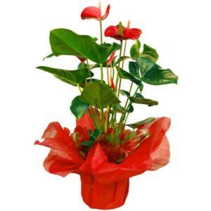 Anthurium em vaso vermelho