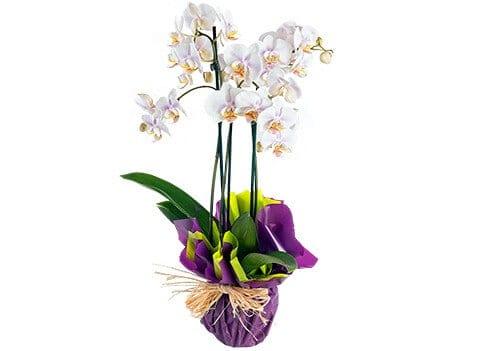 Orquidea PHALAENOPSIS BRANCA