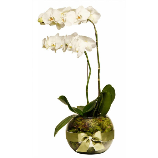 Orquidea em vaso com Musgo