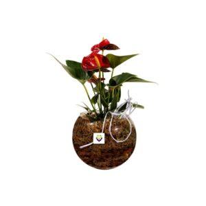 Anthurium em vaso com musgo